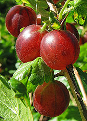 Red coloured gooseberries