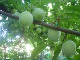 Greengages on a tree